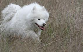Happy dogs - samoyed